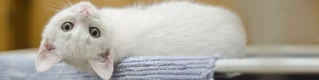 Kočičí uši, kočičí ušní svrab