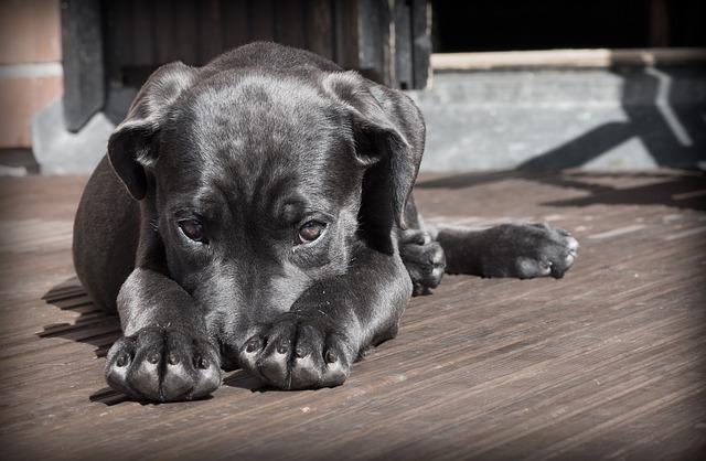Cane corso - štěně