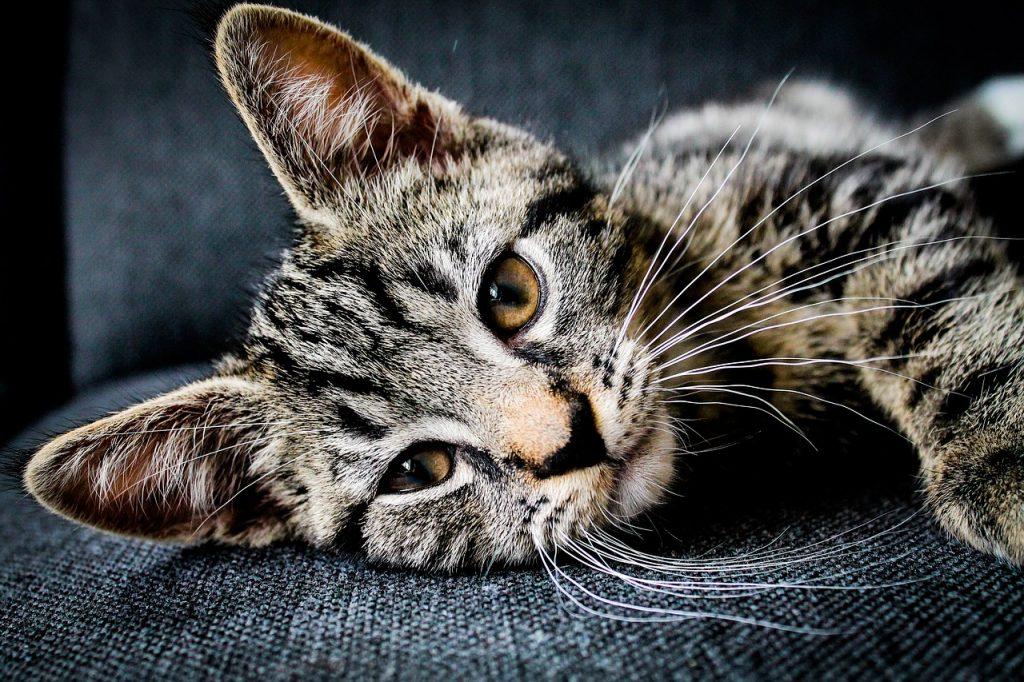 Kočičí uši, kočka - uši