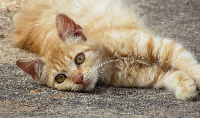 Kočka, uši, ušní svrab