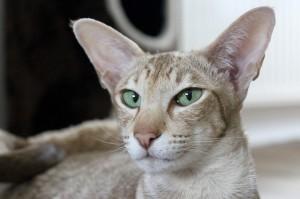 Kočka, kočičí uši