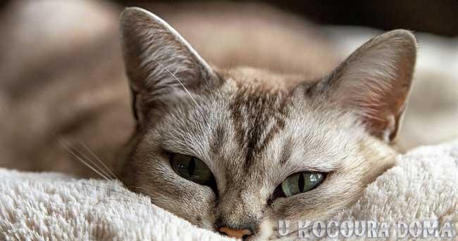 Kočka domácí