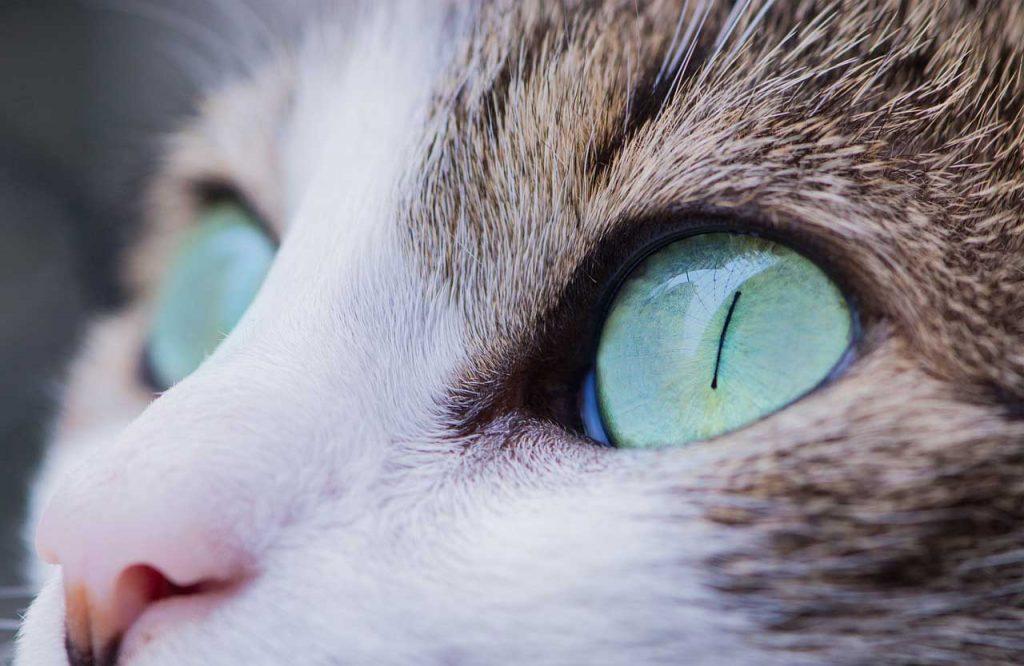 Kočka - oči, kočičí oči