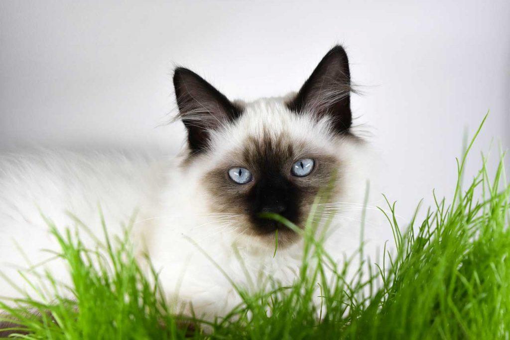 Kočka - tráva, kočičí tráva