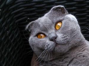 Skotská kočka klapouchá