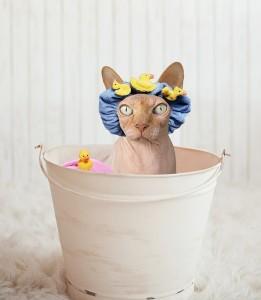 Kočka sphynx, koupání