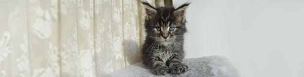 Kotě mainská mývalý kočka
