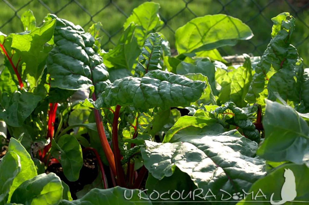 Mangold pěstování
