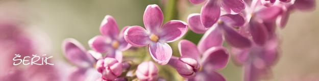 Šeřík, květy šeříku, vůně šeříku