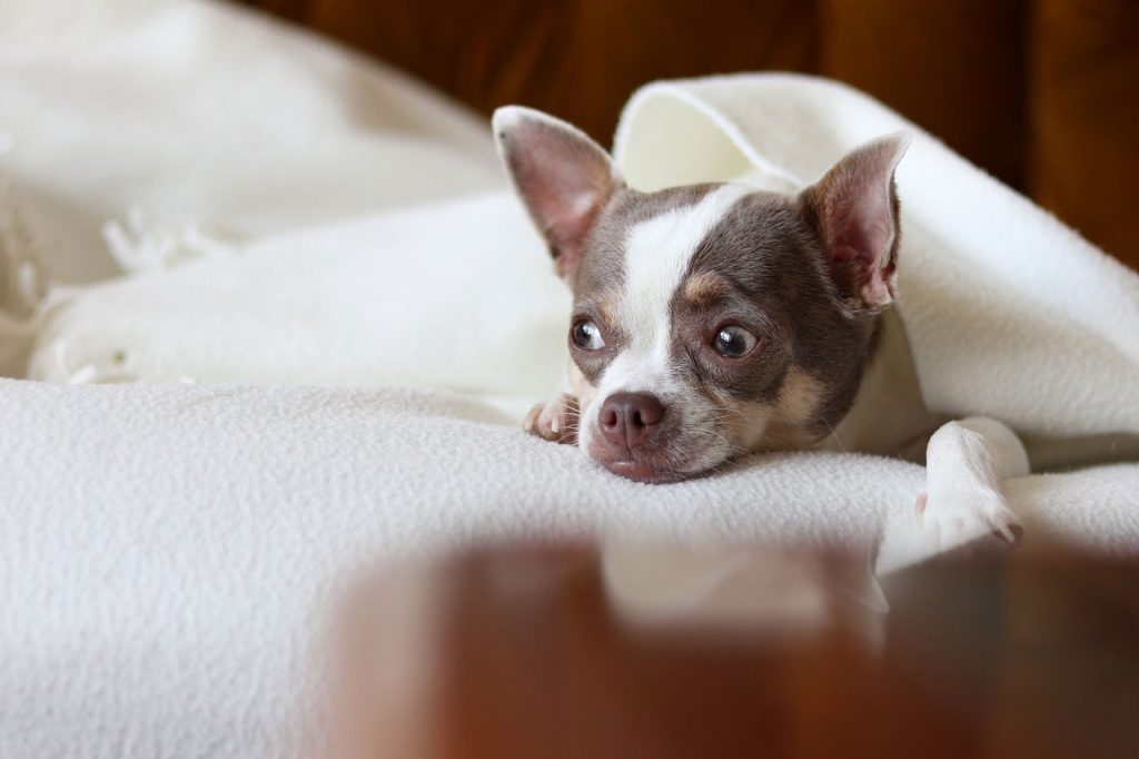 Pes - imunita, imunita psa