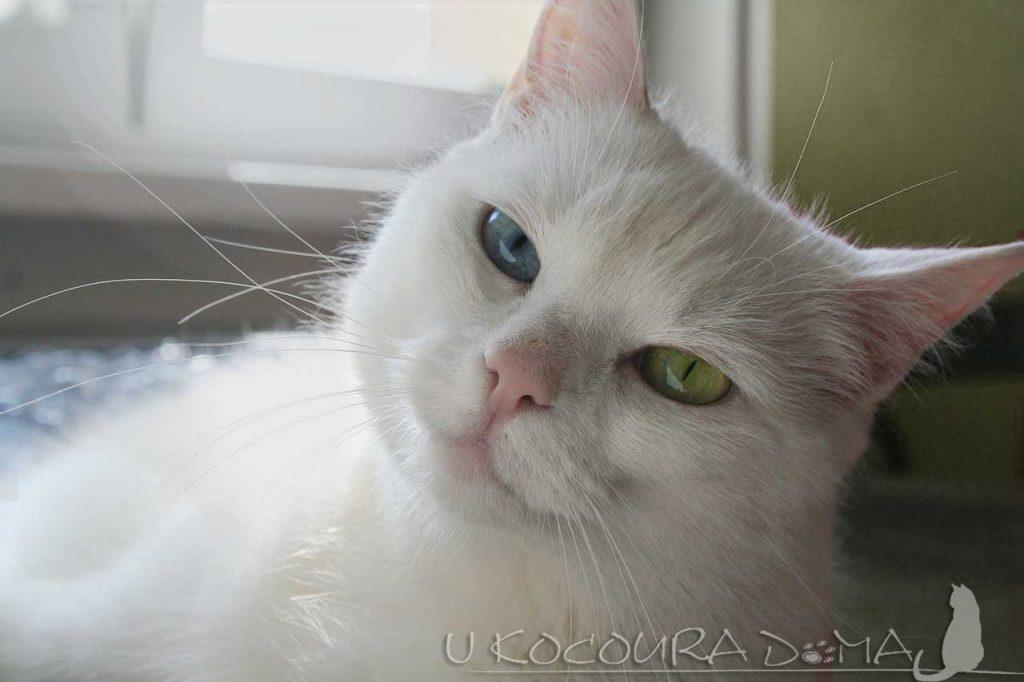 Bílá kočka a její oči - jedno modré, jedno zelené
