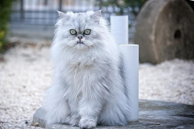 Perská kočka, plemena koček
