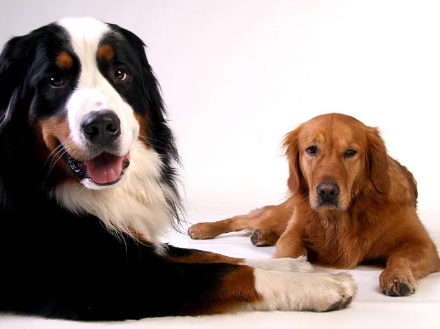Psi - bernský salašnický pes a zlatý retriever