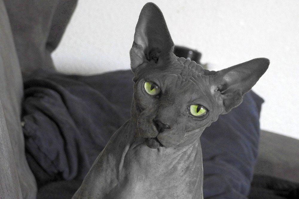 Kočka sphynx