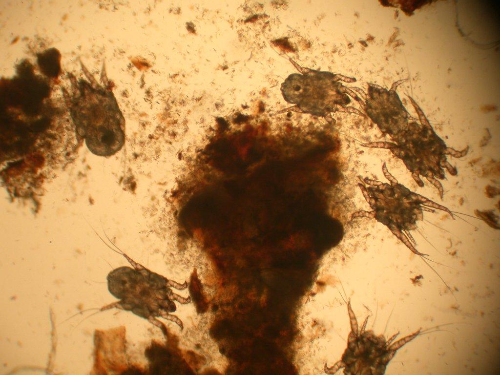 Kočičí ušní svrab pod mikroskopem