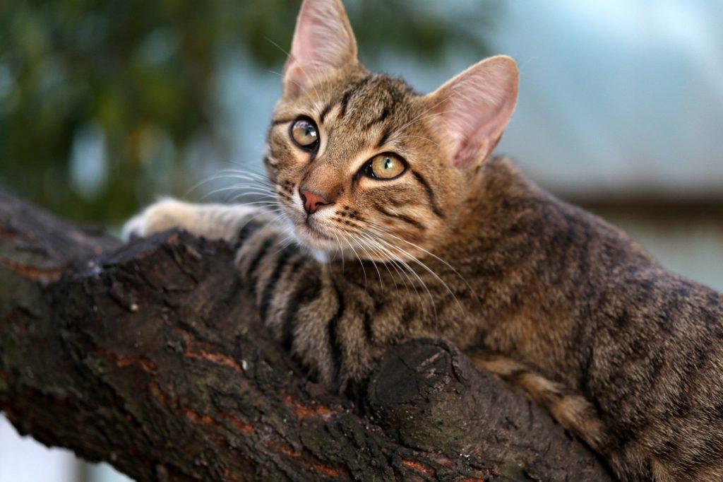 Škrábání kočky