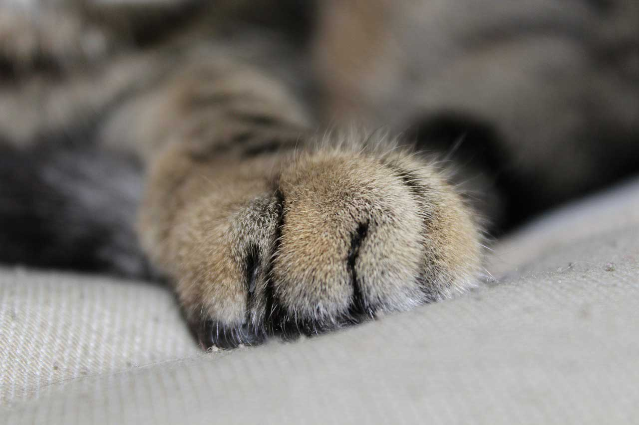 Kočičí mléčný krok