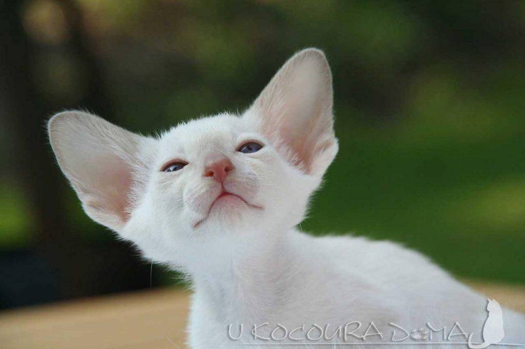 Kočka - uši