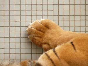 Kočičí drápky, drápky kočky