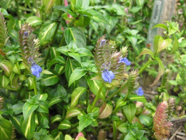 Houbová bylina, modrý květ