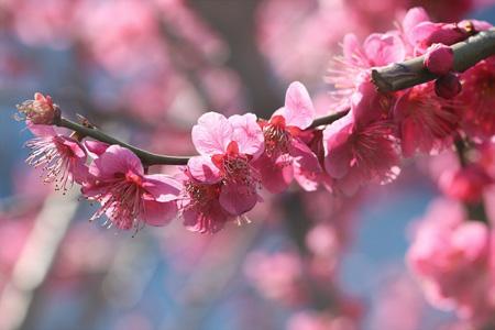 Švestka ume - květ