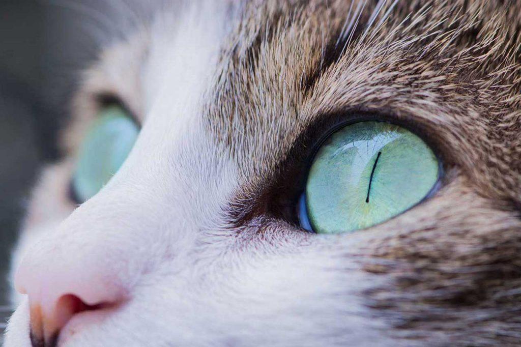 Oči kočky. Jak o ně pečovat a jak je čistit?