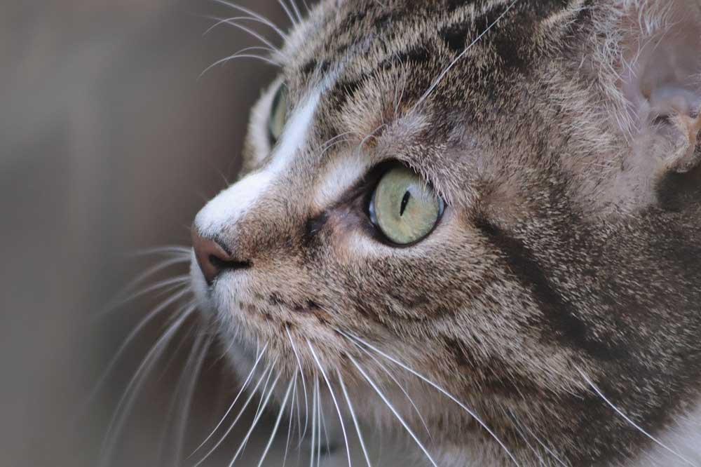 Oči kočky, kočka