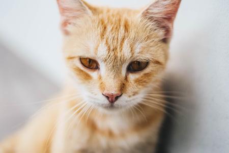 Kočka zrzavá - ginger