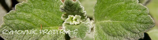 Rýmovník – bylinka proti rýmě, která toho umí víc