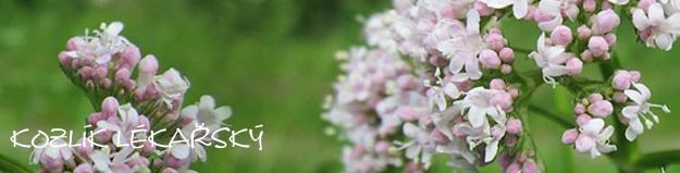 Kozlík – bylinka proti stresu a nespavosti