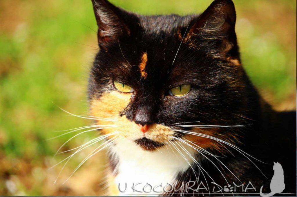 Kočka pro štěstí, tříbarevná kočka
