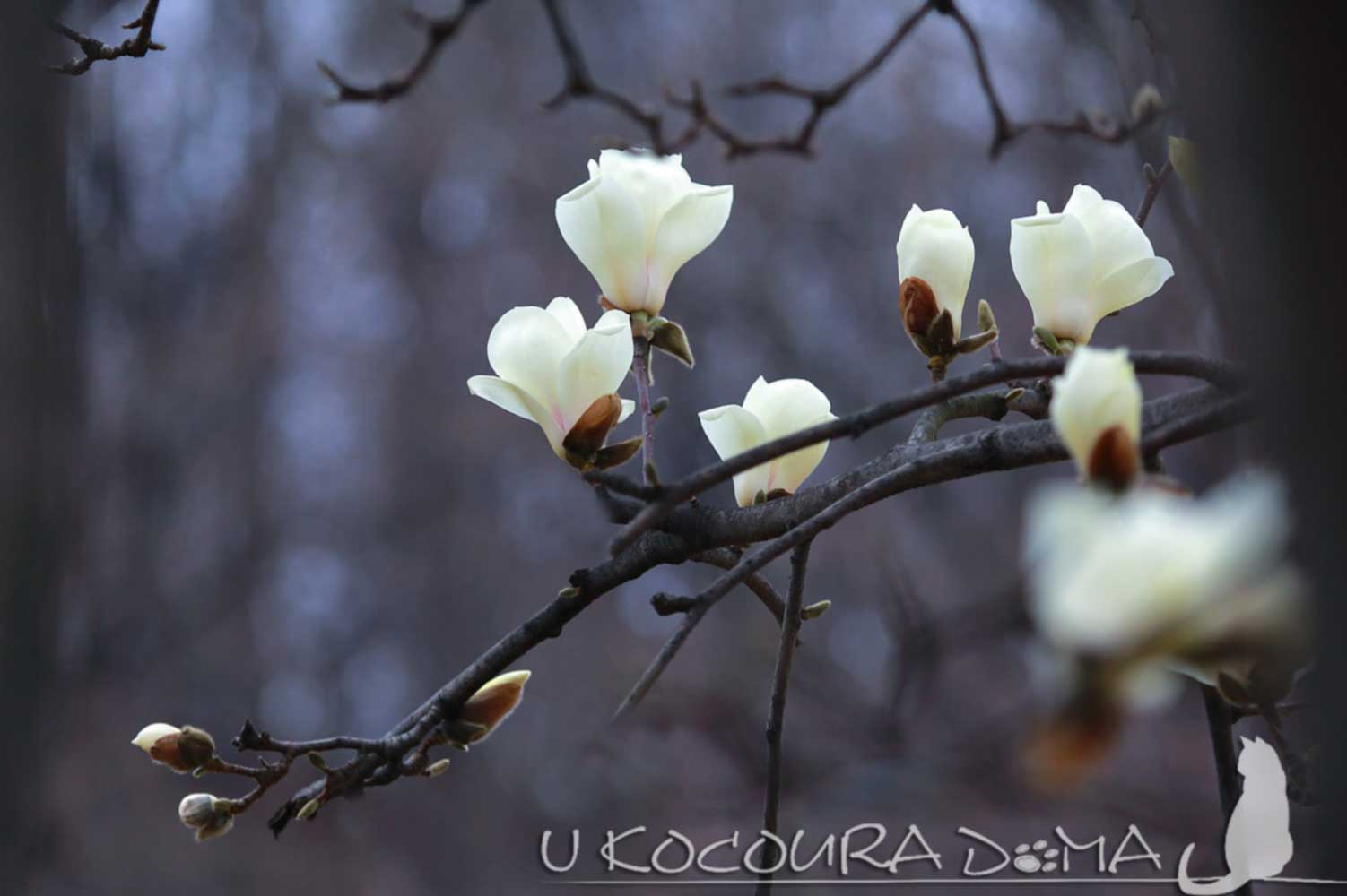 Magnolia, magnolie, šácholan - bílý květ