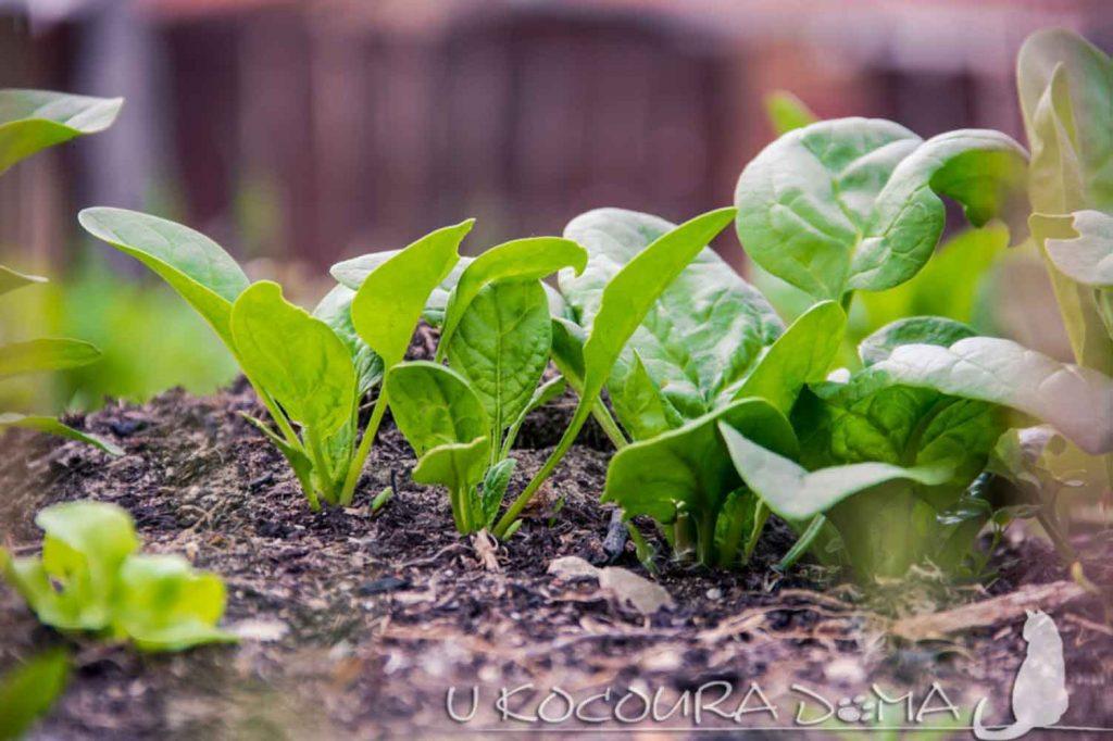 Špenát - pěstování