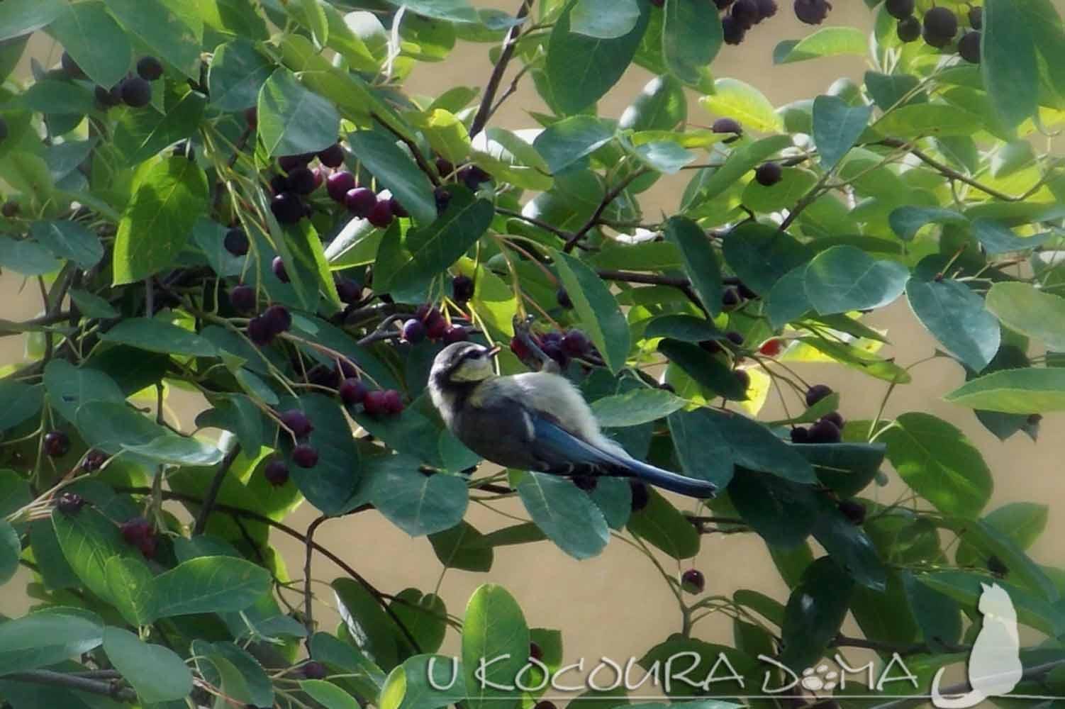 Muchovník (Amelanchier) - indiánská borůvka