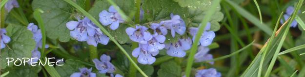 Popenec – bylinka ze zahrady i z louky, fialová kráska i užitečná léčivka