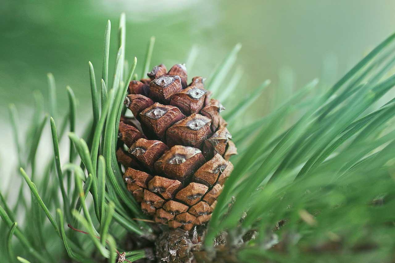 Energizující atmosféra borovice. Využijte kouzla aromaterapie a naplňte vzduch svěžestí lesa!