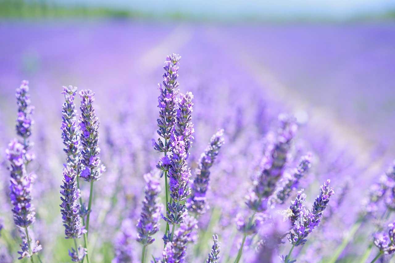 Kouzla aromaterapie po francouzsku: hojivá vůně levandule