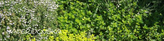 Mateřídouška – jemná kráska se silnou vůní proti stresu