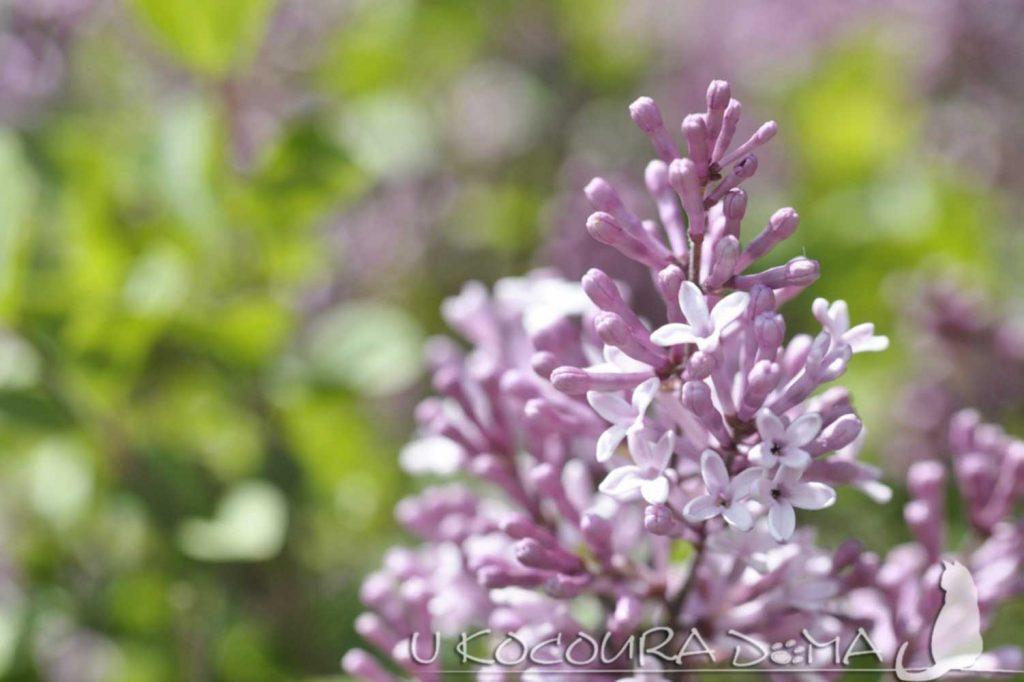 šeřík lila