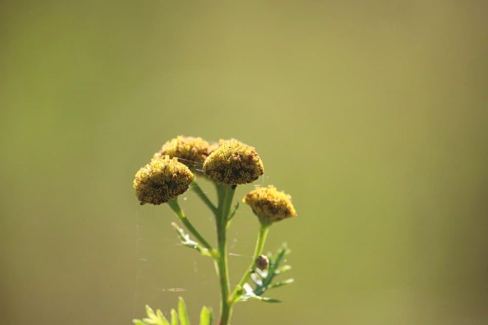 Vratič, rostlina proti hmyzu