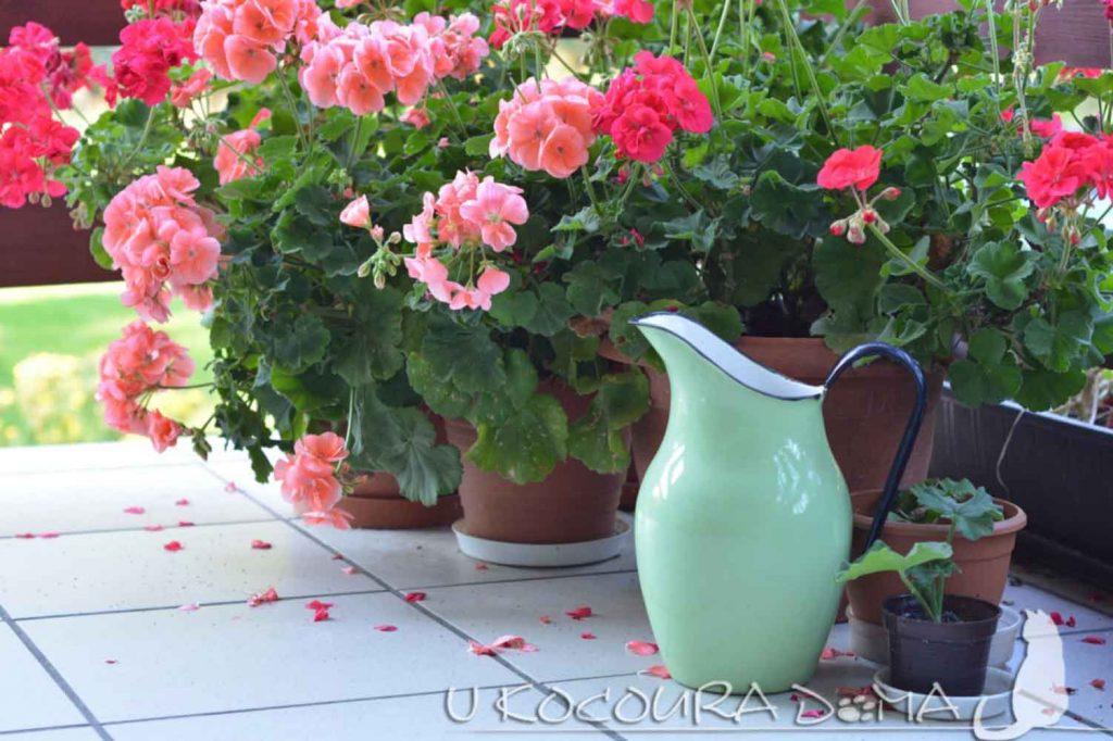 Muškáty, pěstování, rostliny proti hmyzu
