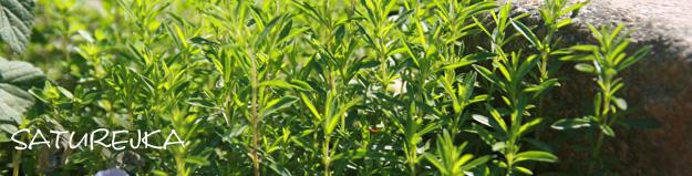 Saturejka – posilující bylinka s vůní slunečních paprsků