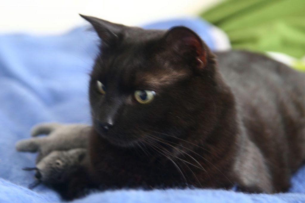 Slavná černá kočička