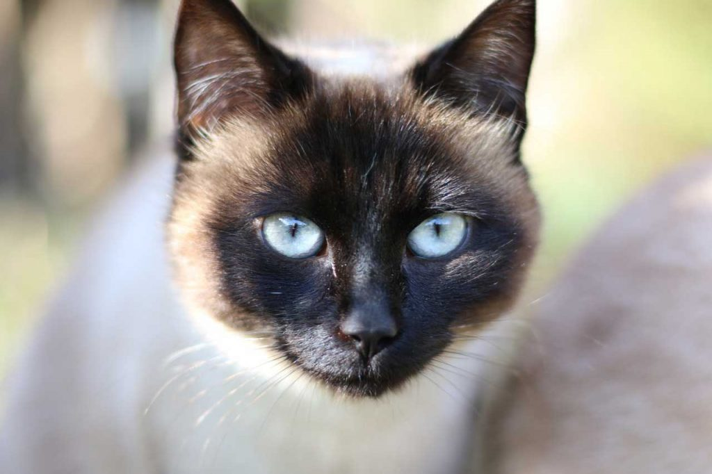 Kočka birma
