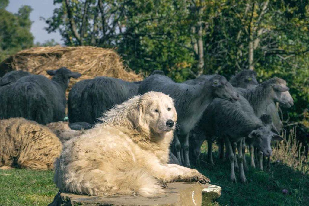 Pastevecký pes