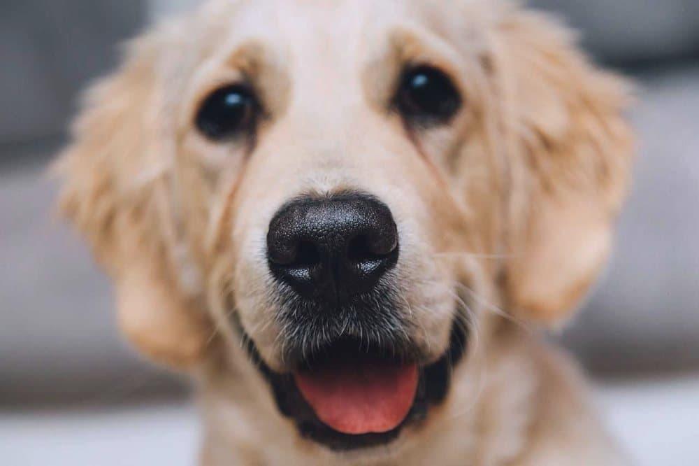Bílý pes, labrador