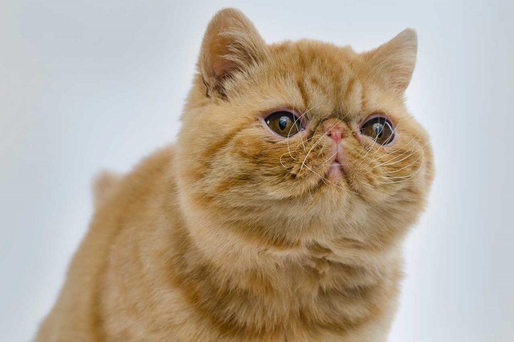 Exotická kočka