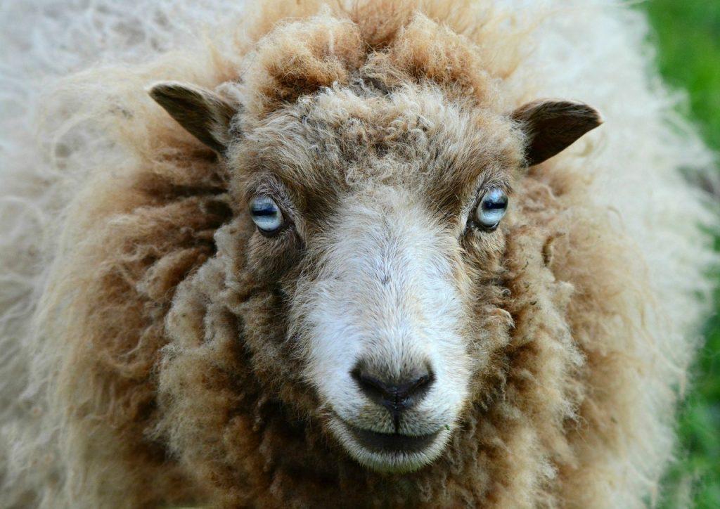 Ovce nejsou hloupé, jejich inteligence překvapila i vědce