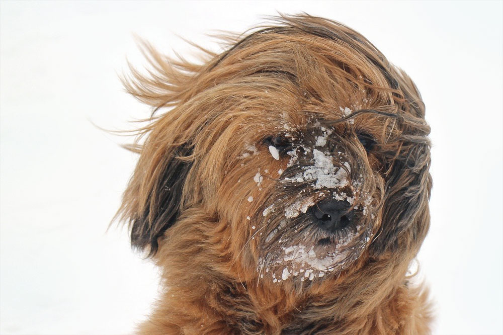 Pes - silná imunita