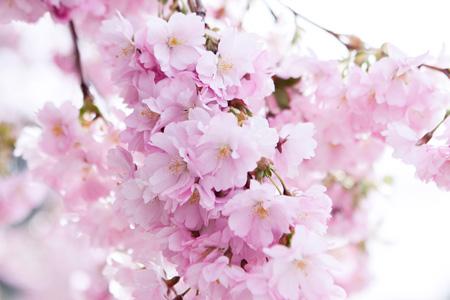Sakura - květy